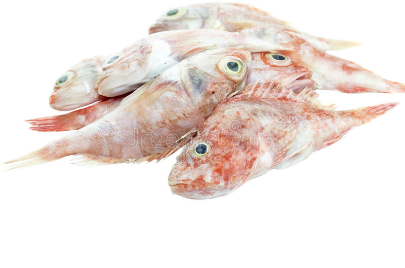 The red grouper. On a white background closeup royalty free stock images