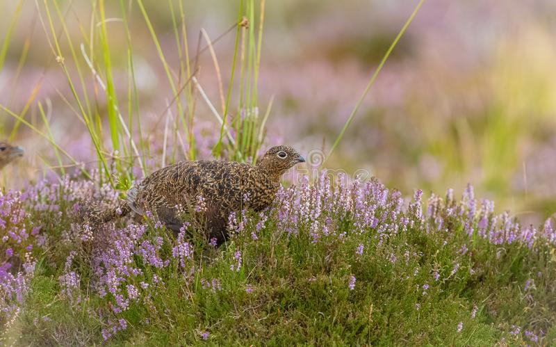 Red Grouse crouching low in purple heather, looking to the right. Red Grouse crouching low in purple heather looking to the right with blurred purple background royalty free stock photo