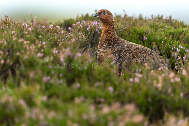 Red Grouse male, facing left, in natural moorland habitat with colourful purple heather royalty free stock photo