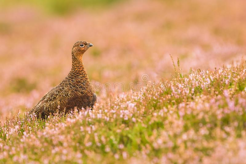 Red Grouse male facing right in blooming pink heather royalty free stock image