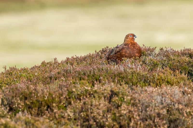 Red Grouse in Autumn.  Adult male with red eyebrow, facing right with clean background royalty free stock photos