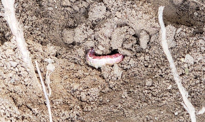 Red Grub Worm in una sporcizia fotografie stock