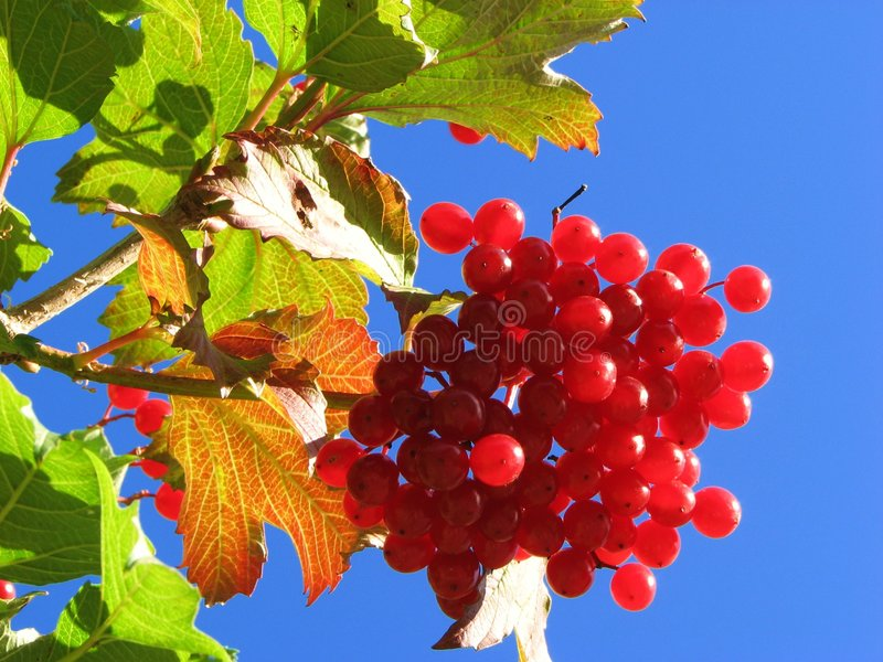 Download Red Guelder rose stock photo. Image of biology, grapes - 3174518
