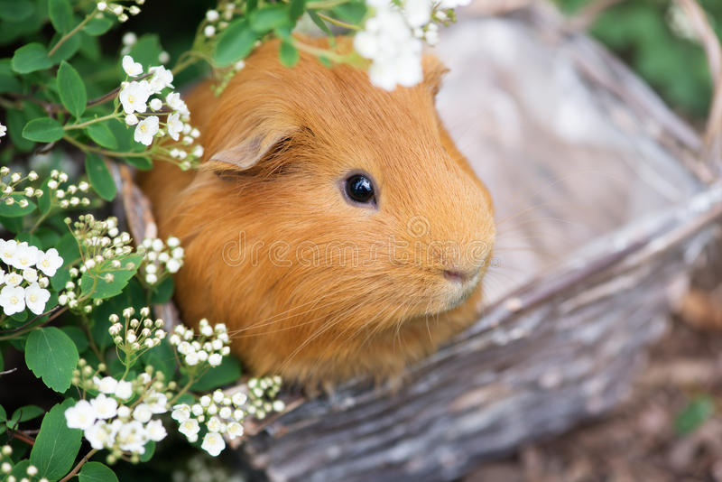 Red guinea pig posing outdoors in a basket. Adorable red guinea pig outdoors royalty free stock images