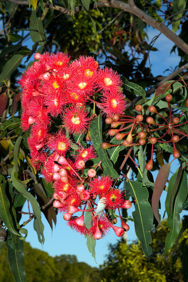 Free Red Gum Tree Flowers Stock Photography - 3855322