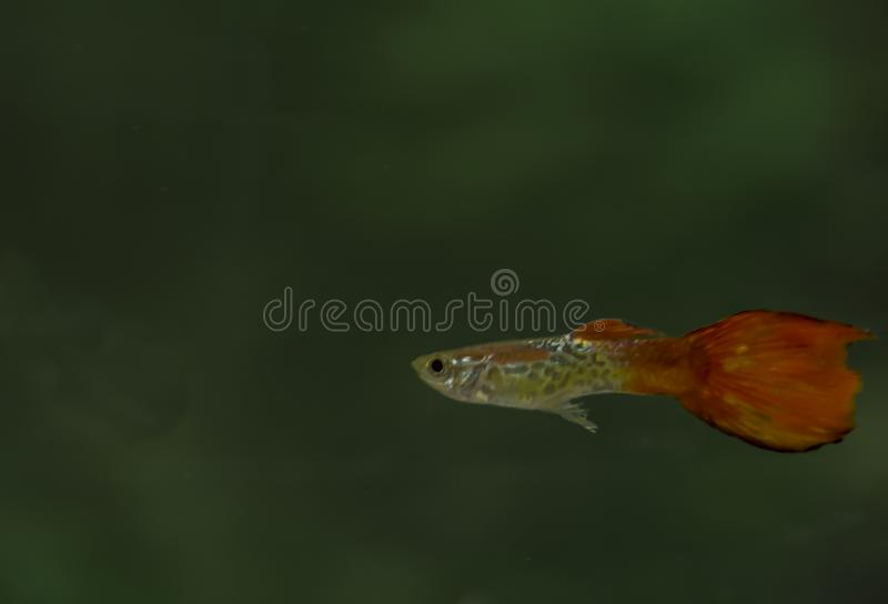 Red Guppy Fish Male in an acquarium royalty free stock image