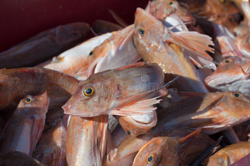 Red gurnard fish. In a crate in a dutch fishing harbor royalty free stock images