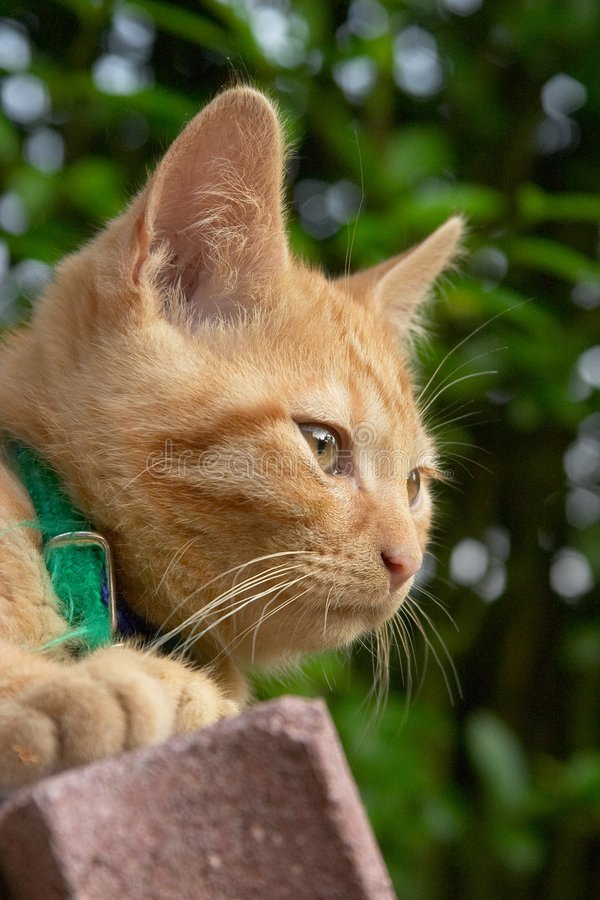 Download Red Haired Cat Portrait Stock Images - Image: 1716374