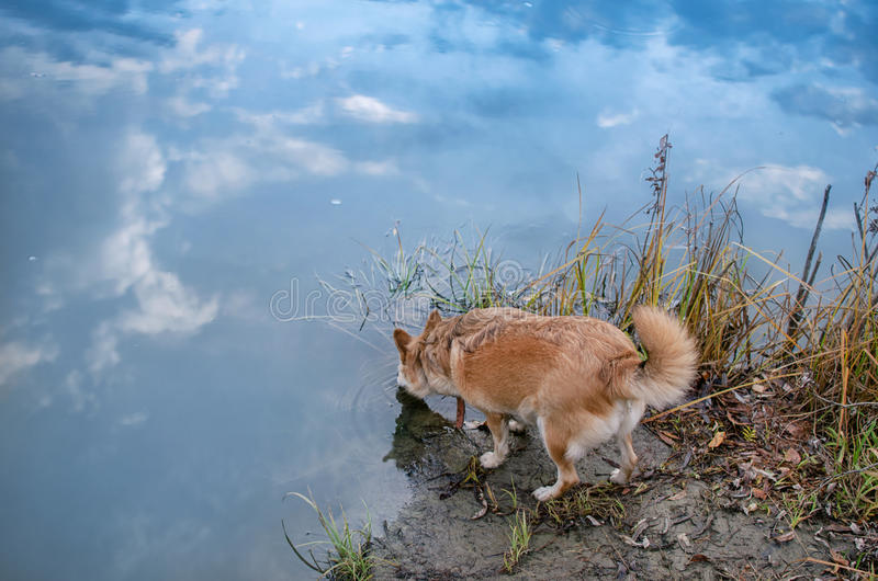 Red-haired dog drinking from the river royalty free stock images