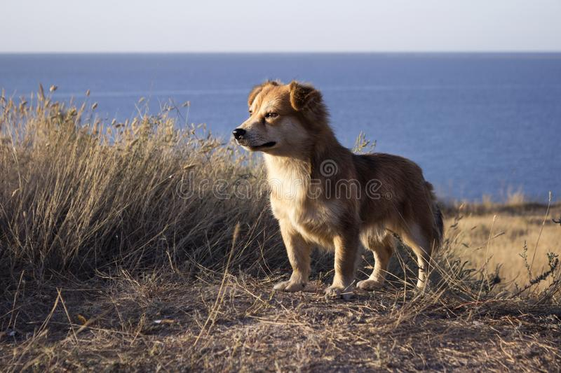 Red-haired little dog stands on top of a mountain against the background of the sea and blue sky. Pet in clear weather royalty free stock images