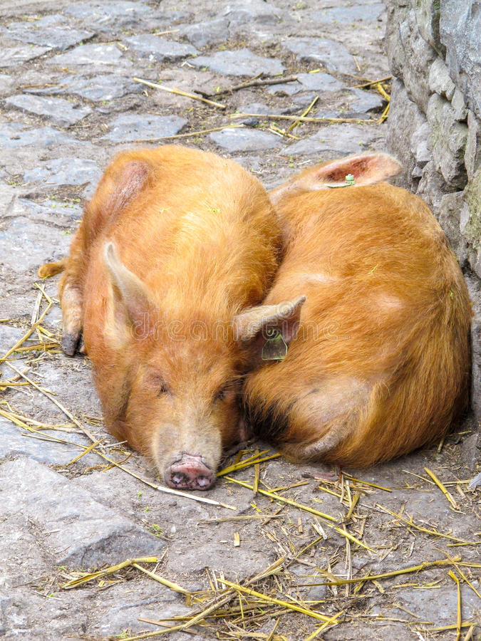 Red Haired Pigs royalty free stock photography