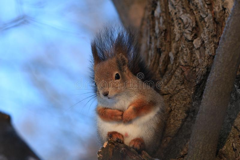 Red-haired squirrel in the winter park. Red-haired squirrel on a tree in a winter park royalty free stock photos
