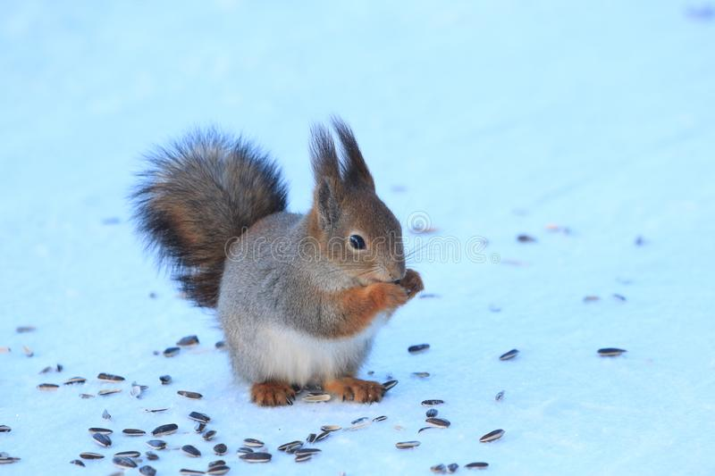 Red-haired squirrel in the winter park. Red-haired squirrel on a tree in a winter park stock image