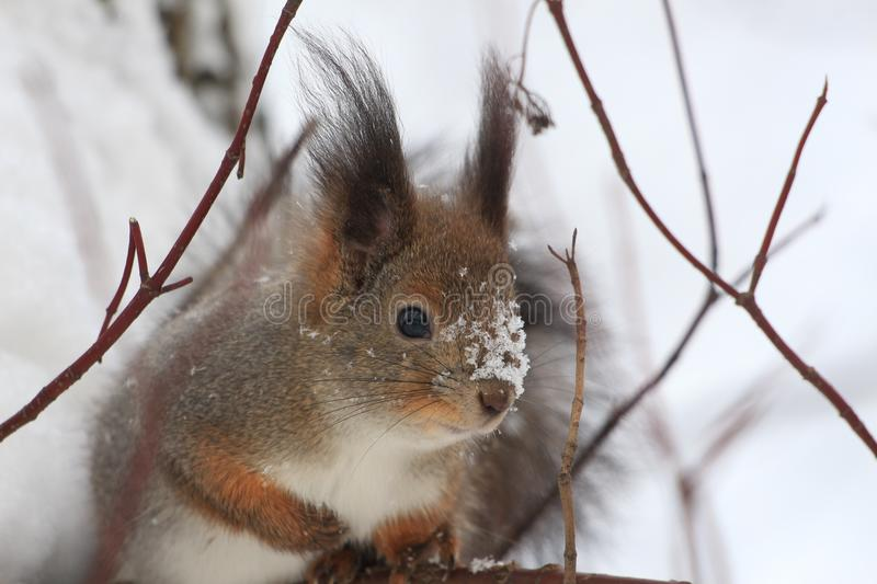 Red-haired squirrel in the winter park. Red-haired squirrel on a tree in a winter park stock photography