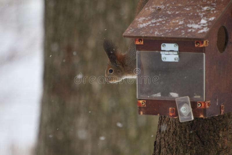 Red-haired squirrel in the winter park. Red-haired squirrel on a tree in a winter park royalty free stock images