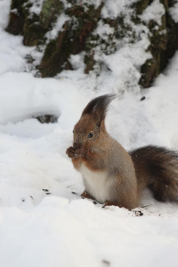 Red-haired squirrel in the winter park. Red-haired squirrel on a tree in a winter park royalty free stock photo