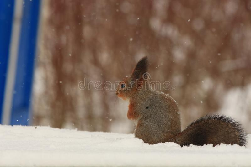 Red-haired squirrel in the winter park. Red-haired squirrel on a tree in a winter park stock photos