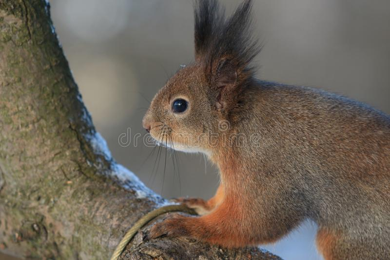 Red-haired squirrel in the winter park. Red-haired squirrel on a tree in a winter park royalty free stock image