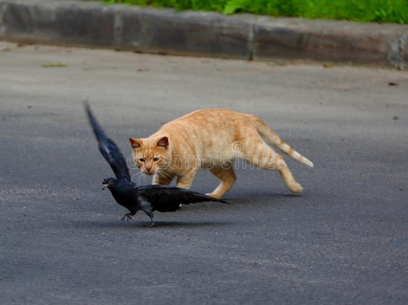Cat hunts pigeon stock photo