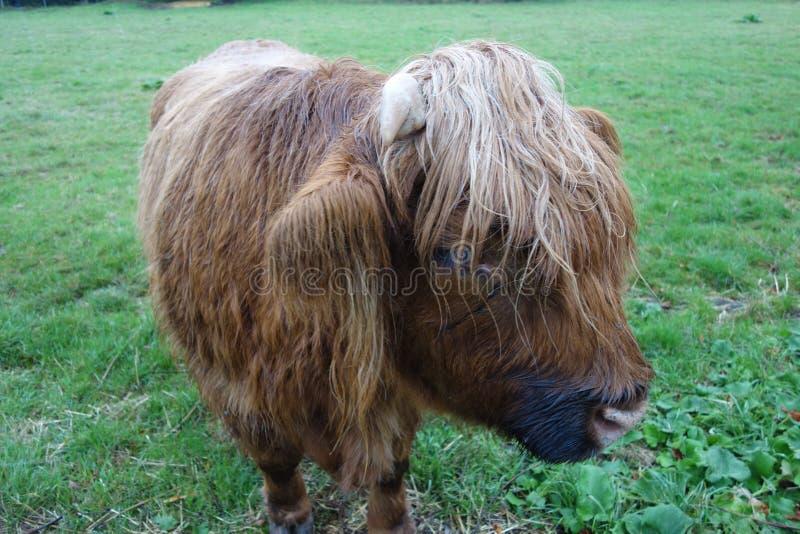 Red Hairy Bull royalty-vrije stock afbeelding