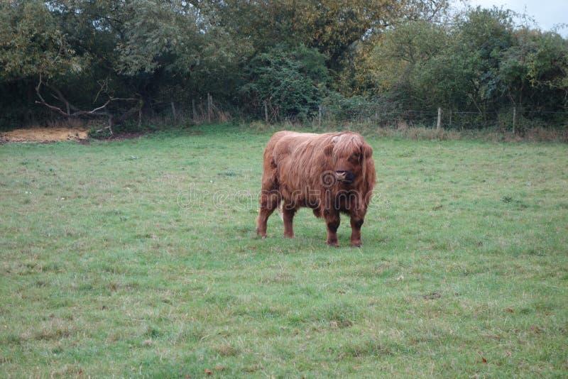 Red Hairy Highland Bull fotografia de stock royalty free