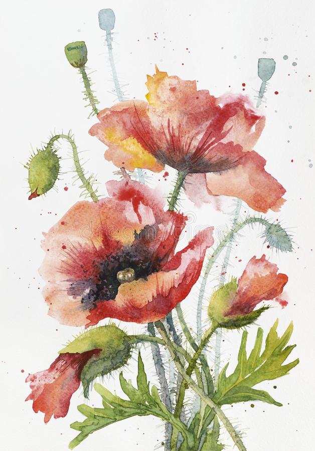 Red hand drawn watercolor poppy on white paper.  royalty free illustration