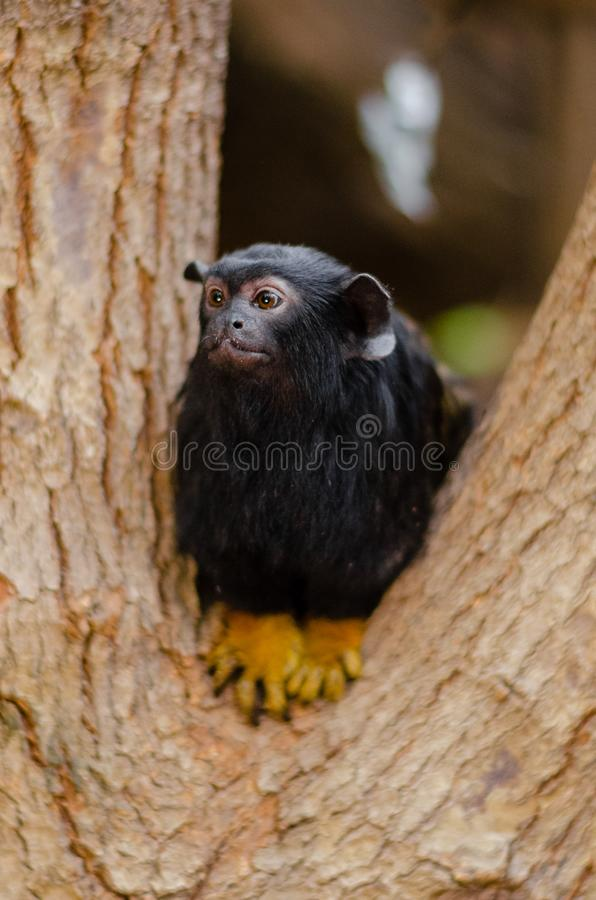 Red-handed tamarin royalty free stock photography