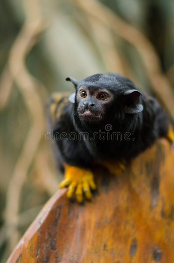 Red-handed tamarin stock photo