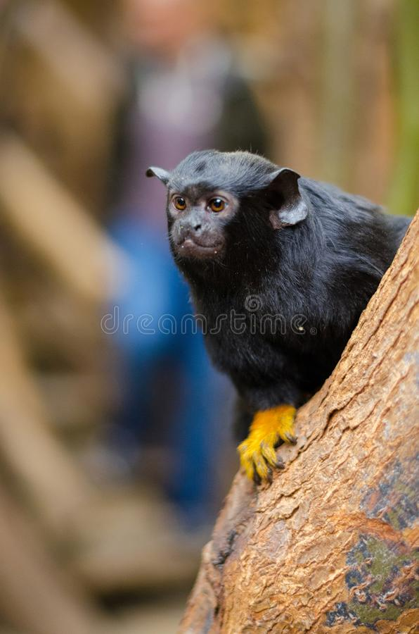 Red-handed tamarin stock image