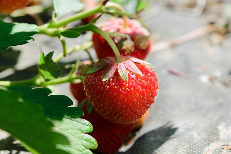 Red Hanging Strawberries Surrounded with Green Leafs and Enlightened by Morning Sun stock photo