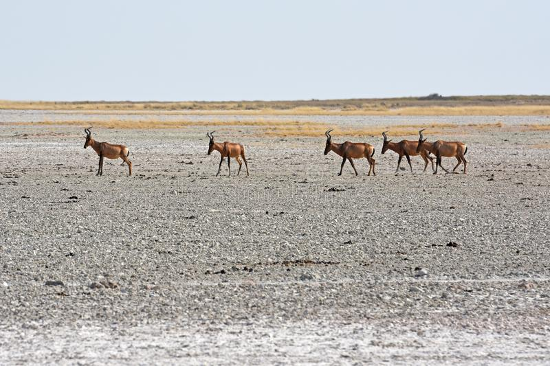 Red hartebeest Alcelaphus caama in the salt pan of the Etosha Nationalpark. A herd of hartebeest Alcelaphus buelaphus are crossing a salt pan in the Etosha royalty free stock photos