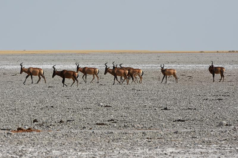 Red hartebeest Alcelaphus caama in the salt pan of the Etosha Nationalpark. A herd of hartebeest Alcelaphus buelaphus are crossing a salt pan in the Etosha stock photography