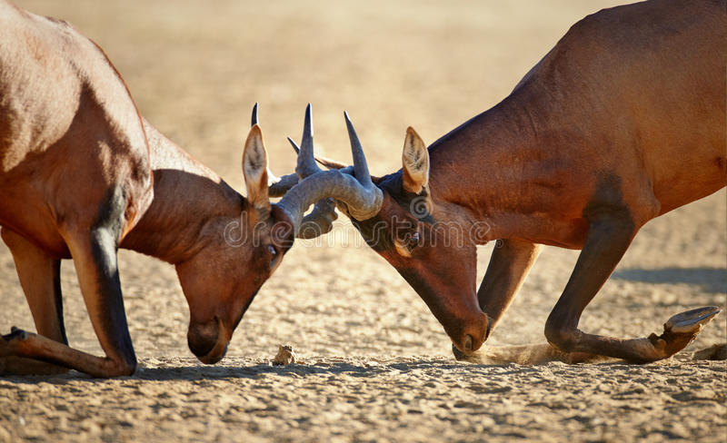 Red hartebeest fighting close-up stock photography