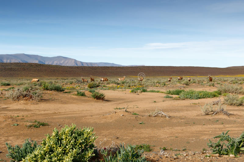 Red Hartebeest grazing in a field in Tankwa Karoo stock photography