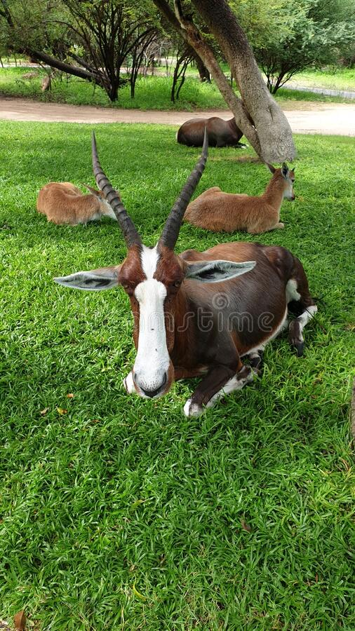 Red hartebeest royalty free stock photo