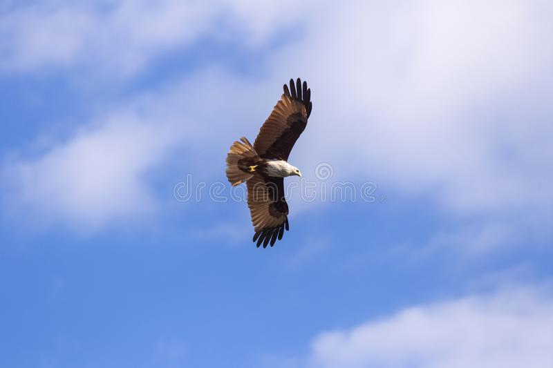 Red hawk while fly in the sky. stock photography