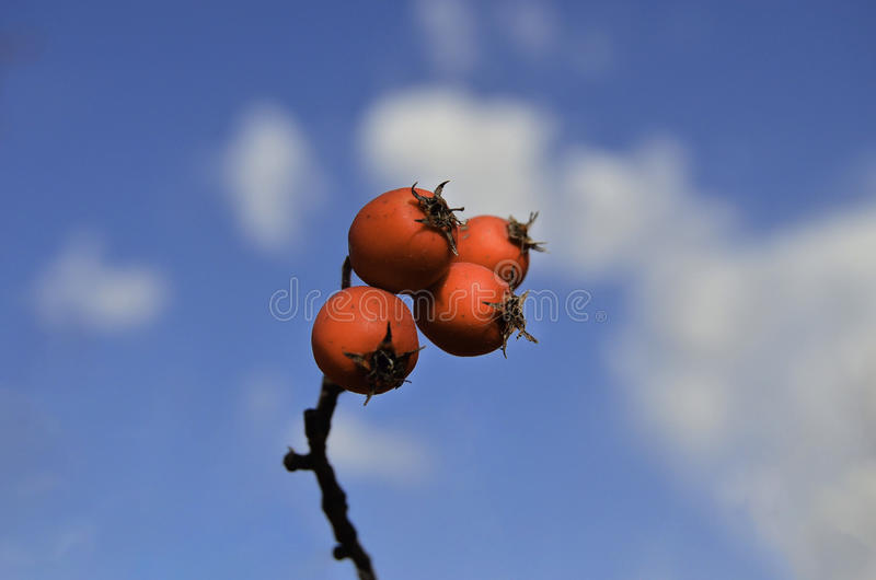 Red Hawthorn Berries. And blue sky harmony stock image