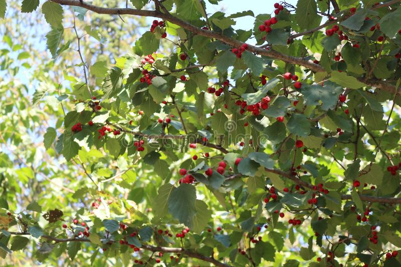 Red hawthorn fruits ripened on a tree in the fall. They decorate a tree stock image