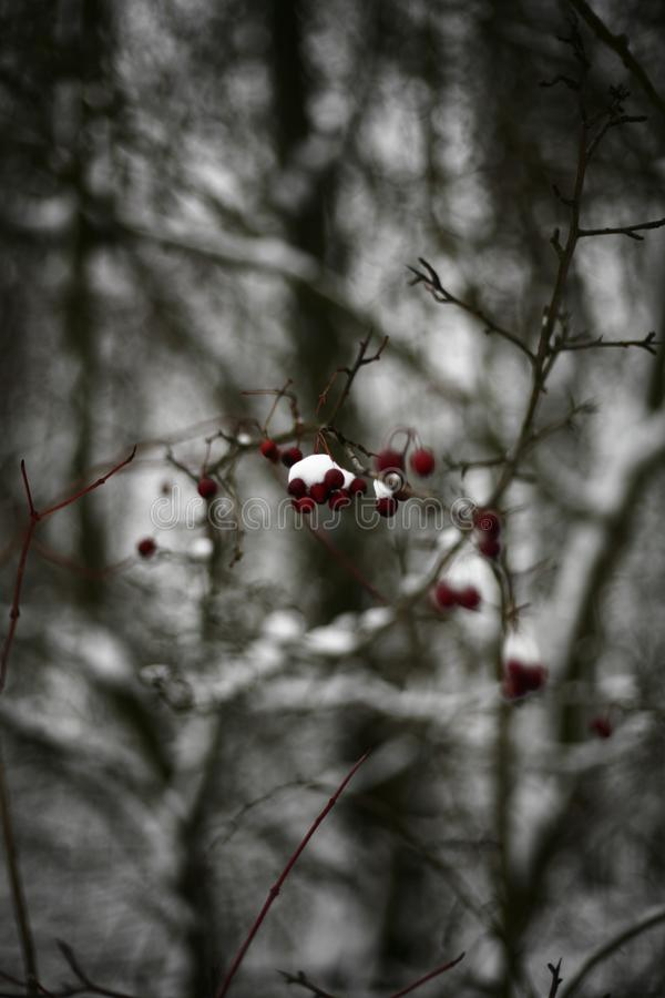 Red hawthorn on a snow-covered branch in the forest royalty free stock image