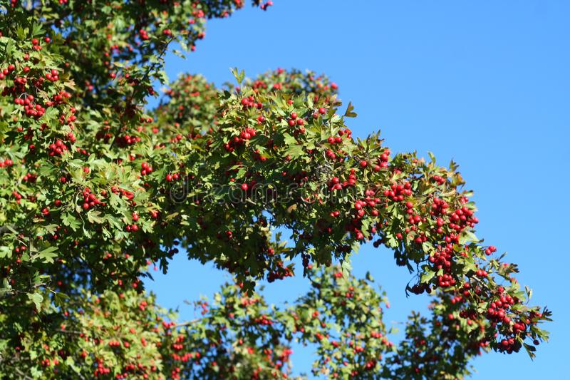 Red hawthorn on a tree stock photo