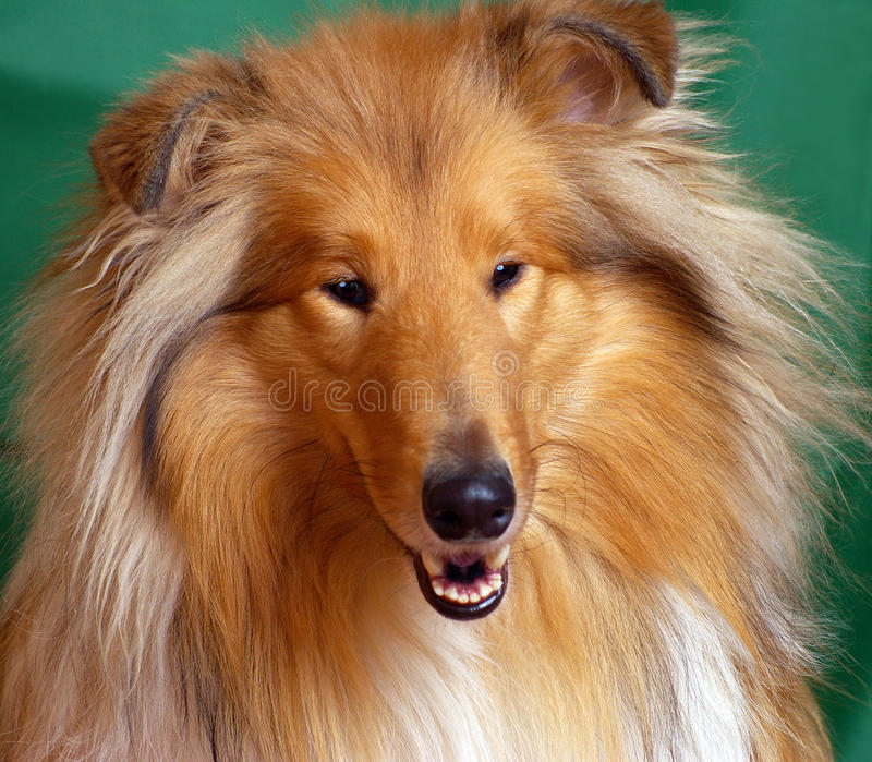Red-head Collie Royalty Free Stock Photography