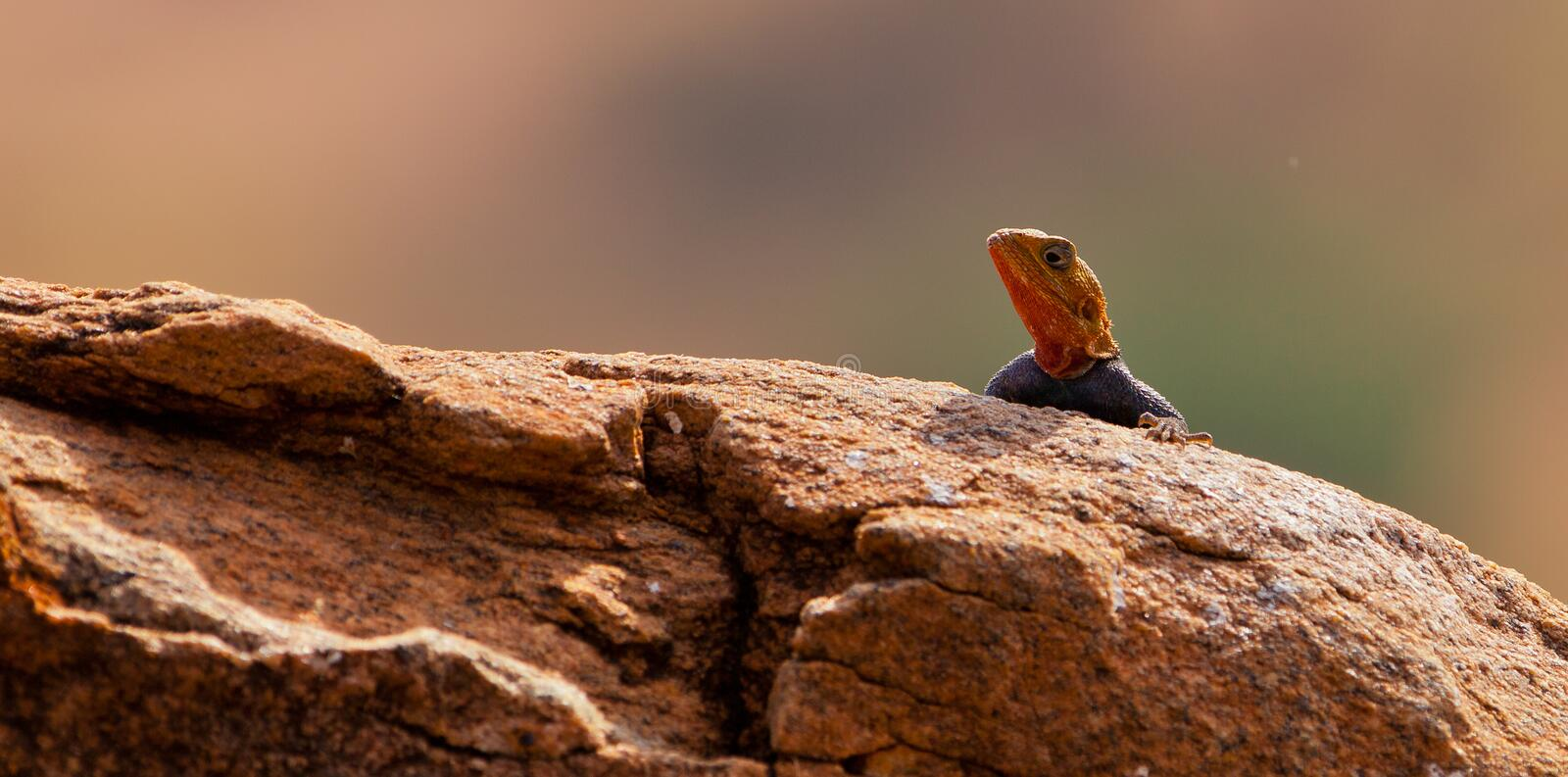 Download Red-headed Agama stock photo. Image of equator, head - 24919320
