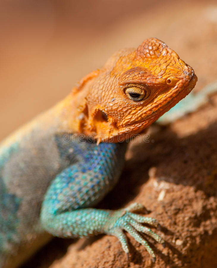 Download Red-headed Agama Royalty Free Stock Photo - Image: 24992375