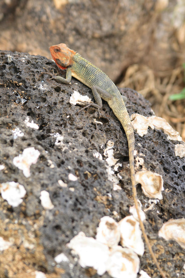 Red-headed agama hagedis op rots royalty-vrije stock fotografie