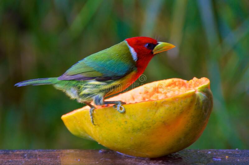 Red-headed barbet looking for food in the cloud forest in Alajuela, Costa Rica stock photos
