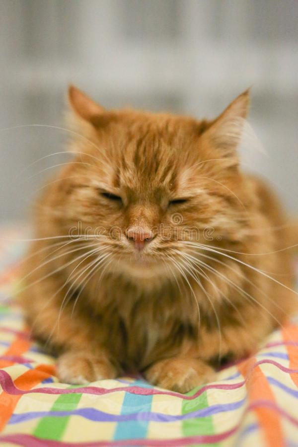 Red headed cat want to sleep in the bed stock photo