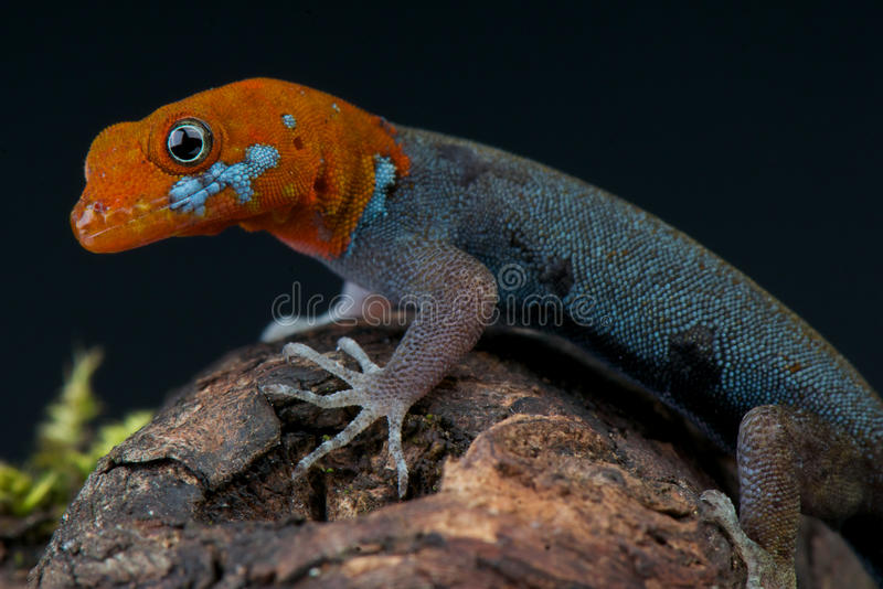 Red-headed dwarf gecko. / Gonatodes albogularis fuscus stock image