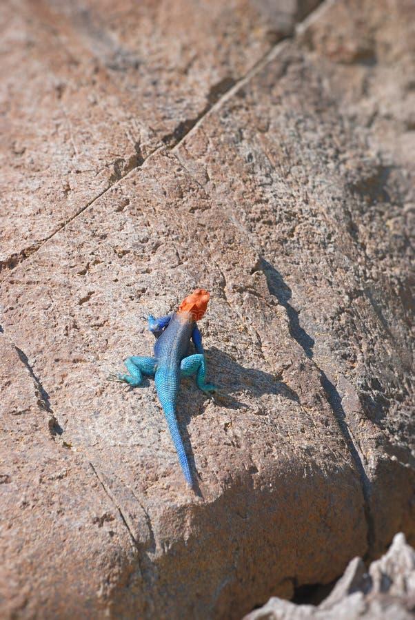 Red-headed Felsendickzungeneidechse stockbilder