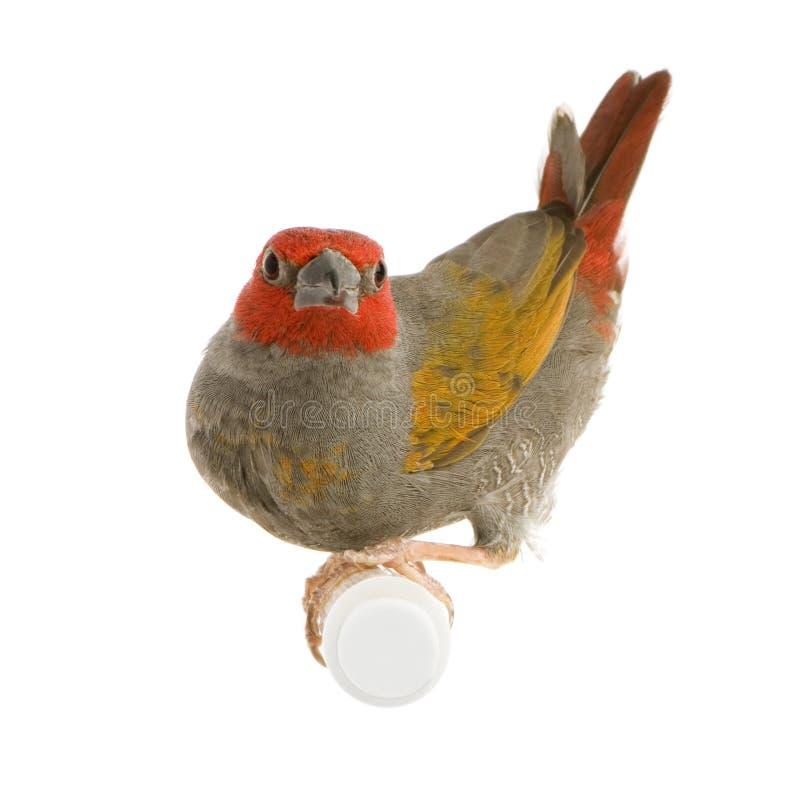 Red-headed Finch - Amadina erythrocephala royalty free stock photo