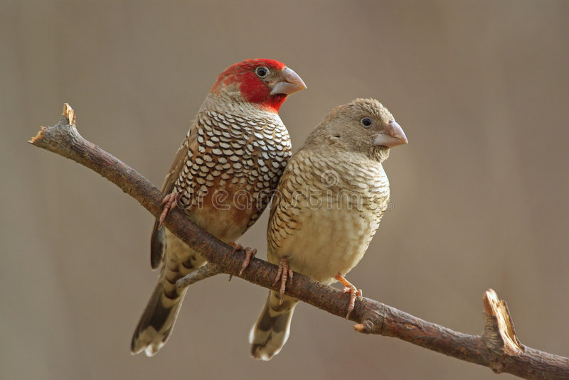 Red-headed finches stock foto